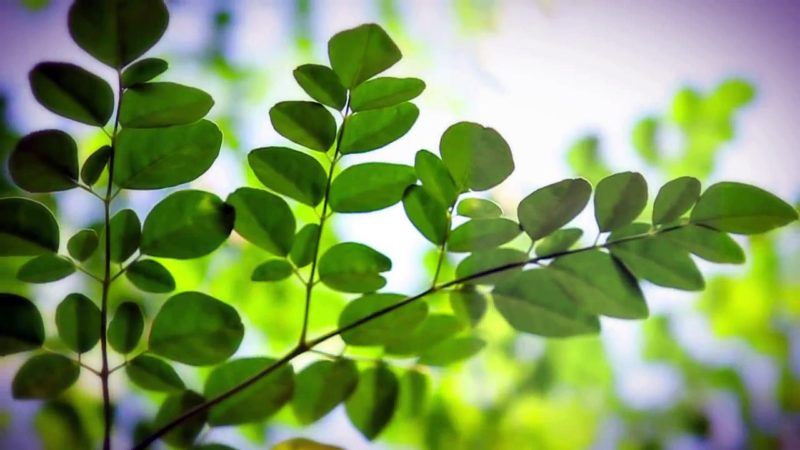 see-how-moringa-seeds-can-filter-800x450