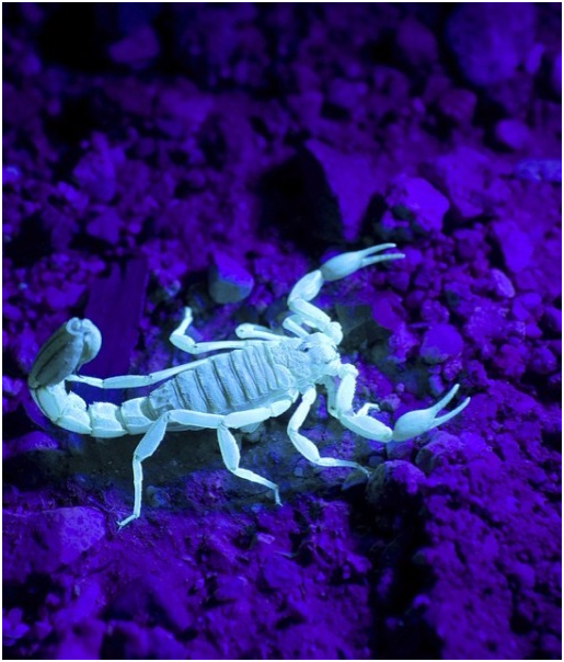 scorpionul albastru