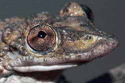"""""""Broasca lui Greening"""", Corythomantis greeningi, prima specie de broască veninoasă"""