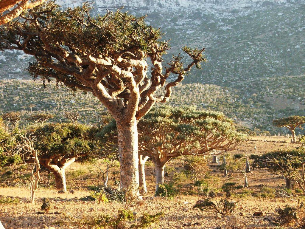 Arborele Boswellia, originar din India