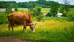 Factorii de transfer produși de vacă pot funcționa la fel de eficient și la om.